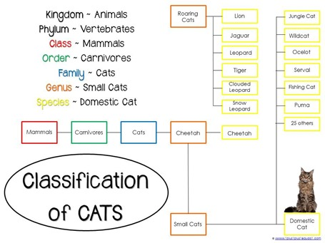 Classification of Cats