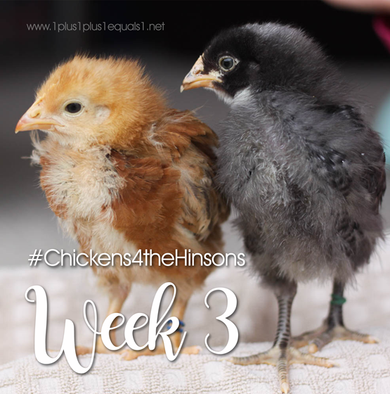 Chickens 4 the Hinsons Week 3