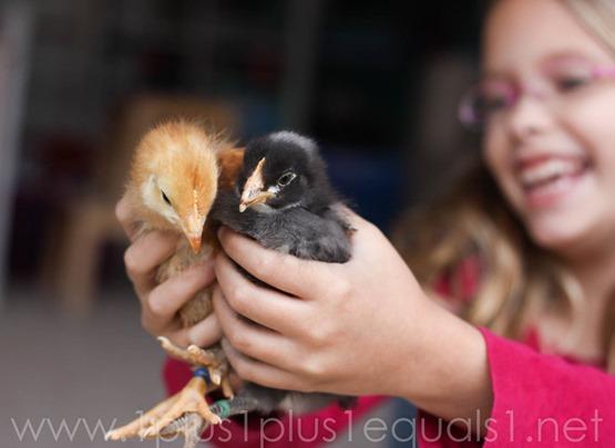 Chicks week 3-14