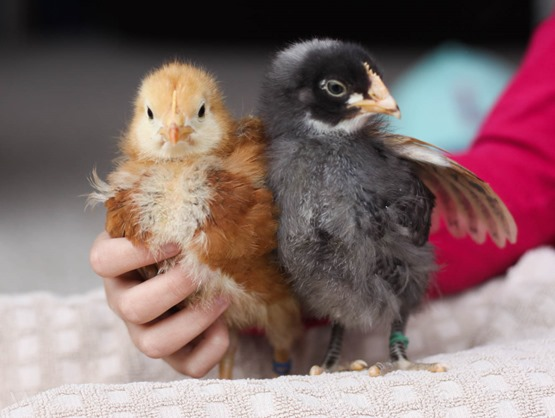 Chicks week 3-20