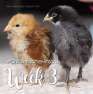 Chickens-4-the-Hinsons-Week-3