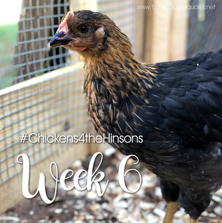 Chickens 4 the Hinsons Week 6