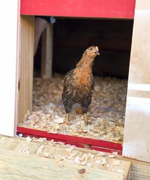 Chickens Week 6 (19 of 14)