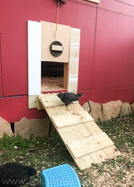 Chickens Week 6 (30 of 14)