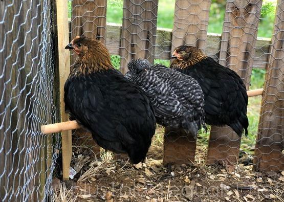 Chickens Week 8 9 (17 of 12)