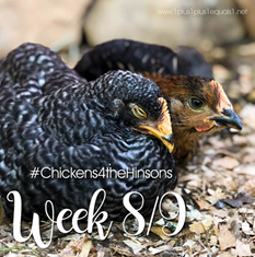 Chickens 4 the Hinsons Week 8 and 9[4]